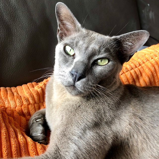 Chester the Burmese cat would continuously spray in his owner's house due to stress