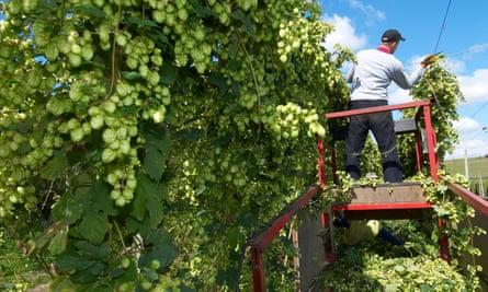 harvesting HopsB11HRJ harvesting Hops