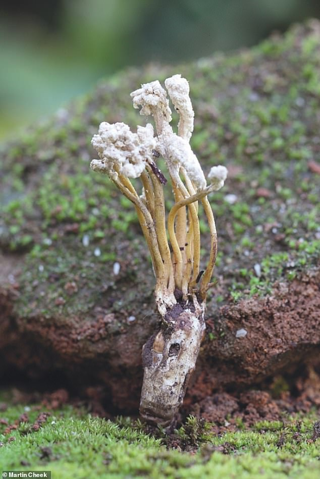 Cordyceps jakajanicola is a newly named fungal parasite of cicadas christenedin time for the new report