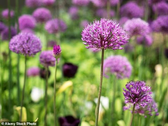 Floral favourite: Alliums