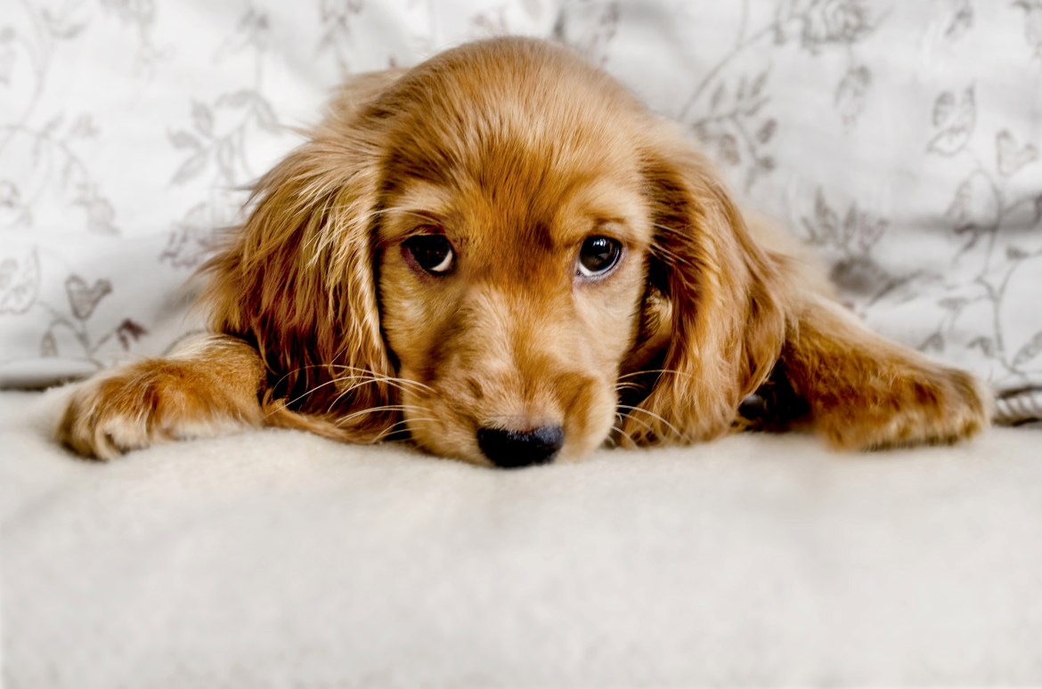 Robert wants to know why his cocker spaniel has problems with dry skin and ear infections