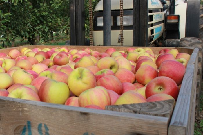 A large crate packed with red apples.