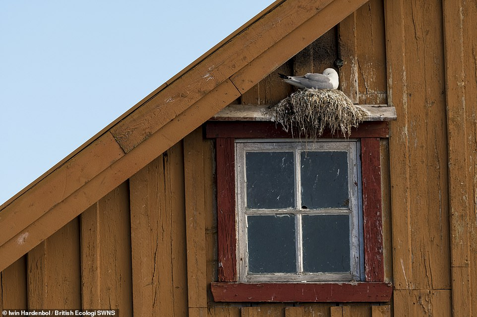 Housing for the threatened - Alwin Hardenbol. In Varanger, Black-legged Kittiwakes (Rissa tridactyla) often like to nest on decrepit buildings. It's a quite fascinating behaviour for this internationally vulnerable bird species. Winner People and Nature