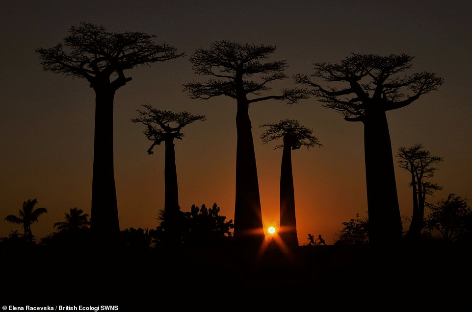 This is our playground - Elena Racevska. As the day turned to night, mesmerised tourists gathered to witness the baobabs' grandeur amidst a deep-coloured sunset. The trees stood silent and tall, as they have for centuries. Suddenly, as if out of nowhere, two children appeared. Tumbling through this theatre of shadow and fading light. Claiming their playground. Student winner People and Nature