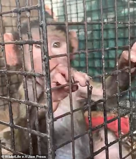 Ton, an infant baboon (pictured), was being held in a small bird cage at the market after his mother was killed by poachers. He was savd by conservationists and activists