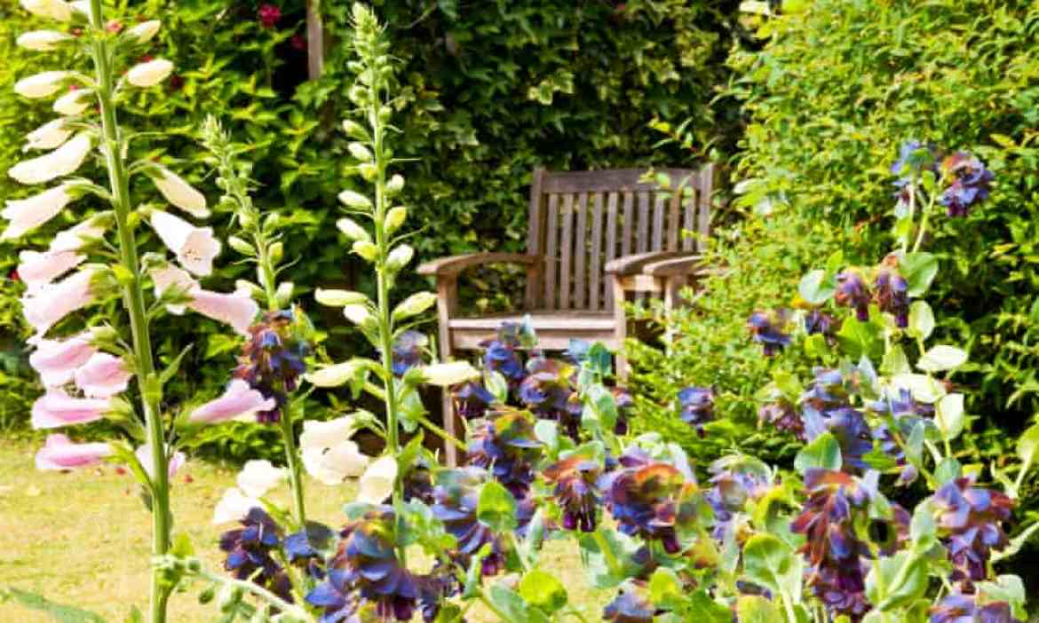 Foxgloves and Cerinthe Major Purpurascens or Honeywort in an English garden with a wooden seat in the background