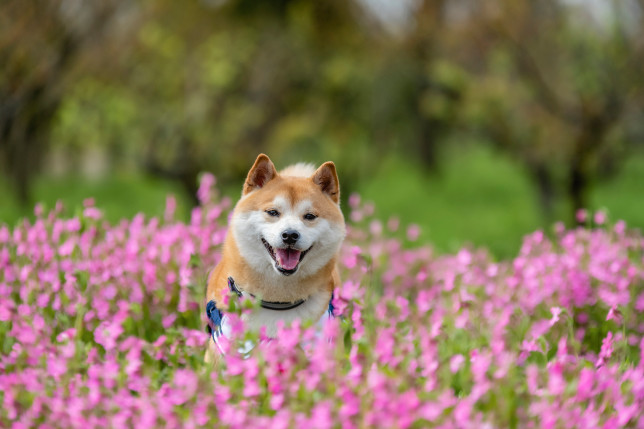 Shiba Inu is the basis for yet another new crypto (Credits: Getty Images)