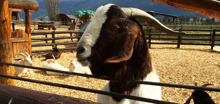 Funny Goat Video from our Road Trip Detour Stories from your roadtrip