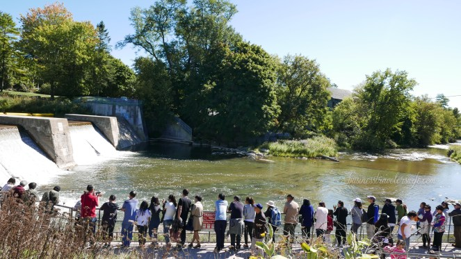 Amazing Salmons Fight Their Way Up the River of Port Hope for the Annual Salmon Run Corbett's Dam Fish Ladder