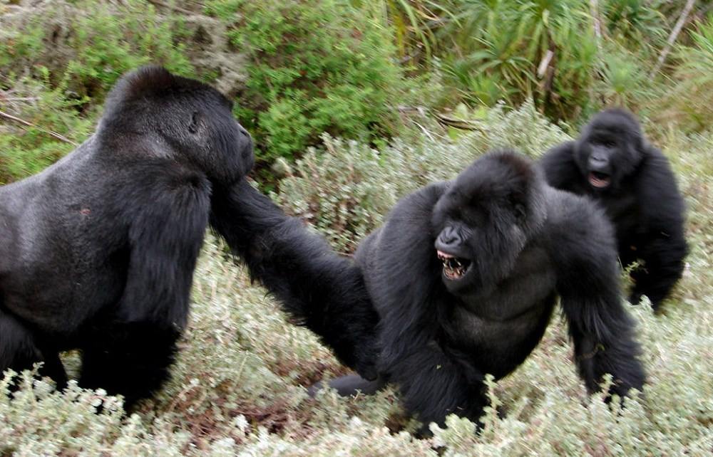 mountain gorillas are the leading tourist attraction in Rwanda, pulling crowds of tourists across the world.