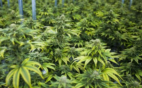 Uganda has with immediate effect halted the issuing of an investment license to an Israel firm, Together Pharma Limited, who had reportedly secured land in Kasese to cultivate medical cannabis popularly known as marijuana on a commercial scale.