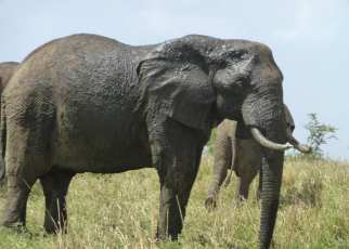 The elephant population in the Queen Elizabeth National Park was recently reported by UWA as young and healthy, numbering over 3000 individuals