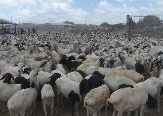 Somaliland has been granted permission to export livestock to the Middle East again.