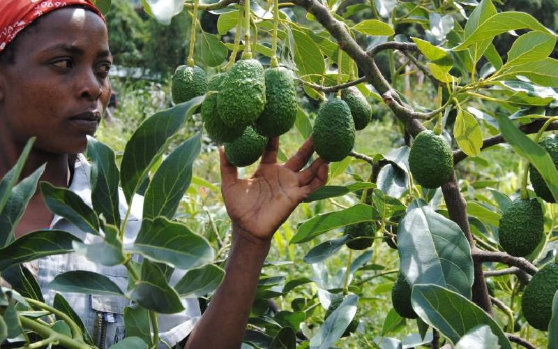 Climate change has made it difficult to accurately predict weather patterns thus farmers must adapt their farming practices and grow crops with higher resilience to the impacts of a changing climate.