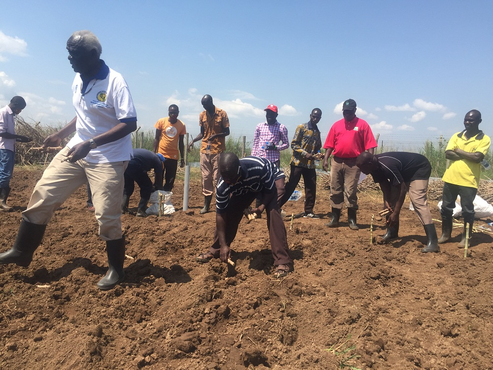 CASSAVA farmers in Serere District found in Eastern Uganda have started planting disease-resistant cassava varieties which are currently undergoing trials.