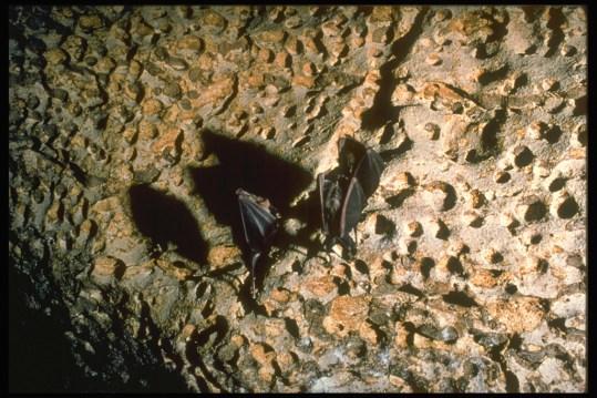 Pipistrelli nel Ramo Principale (foto archivio GSM)