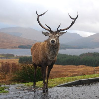 See Scotlands Stag