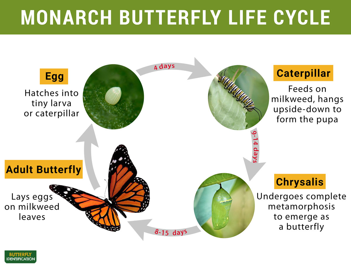 Monarch Butterfly Identification Life Cycle Migration