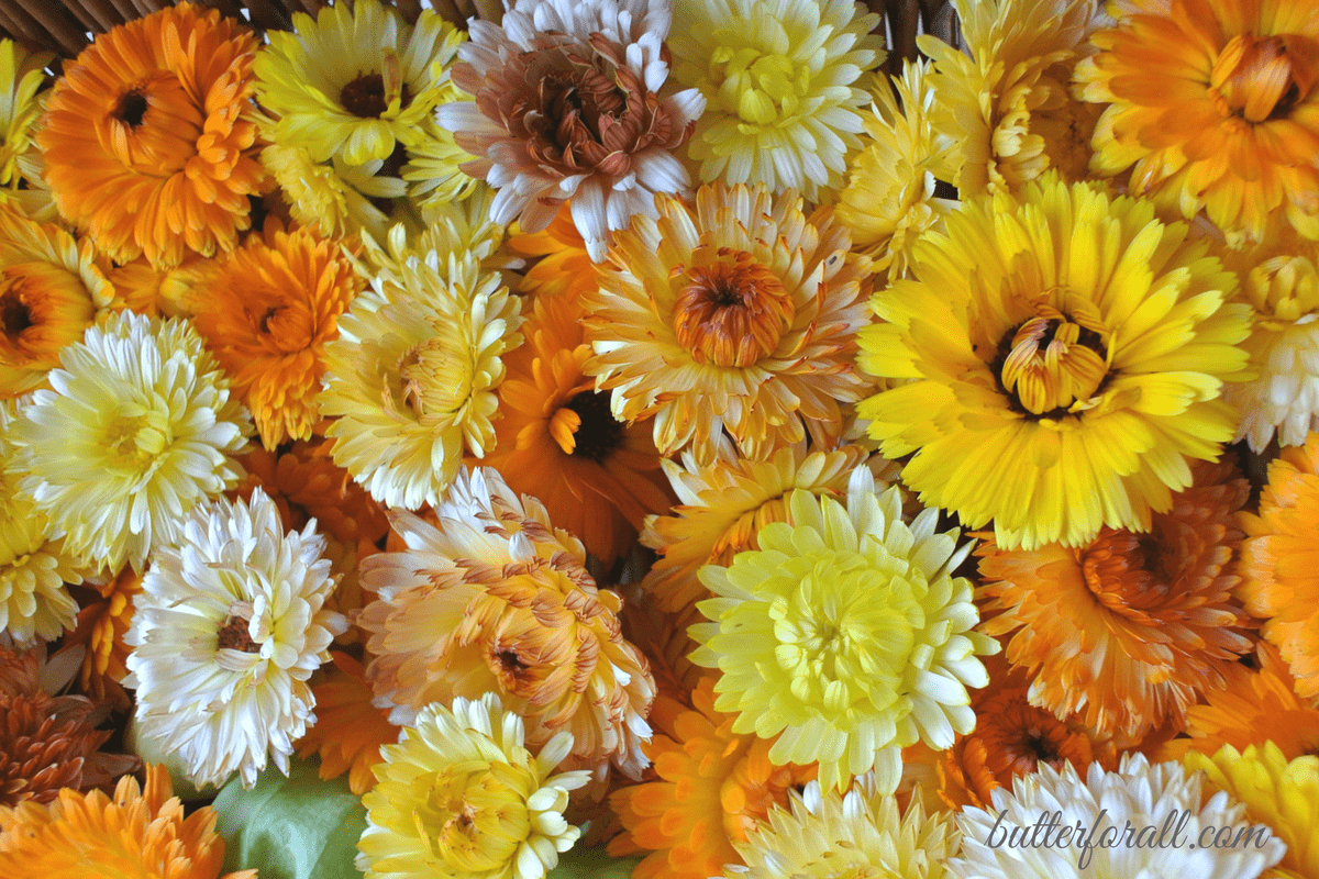 Growing, Harvesting and Drying Calendula Flowers