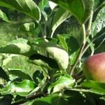 fruitbomen 4