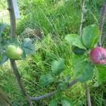 fruitbomen 6