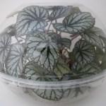 Using Bowls To Make A Terrarium Buxton Begonia