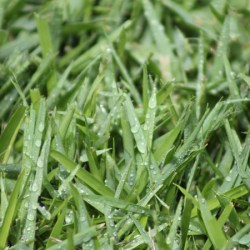 Platinum Zoysia Turf Close Up Wet