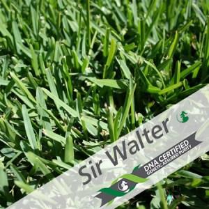 Sir Walter Qaulity Green DNA Certified Turf