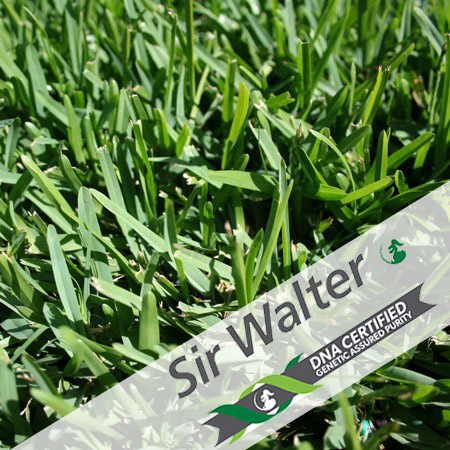 Sir Walter DNA Certified | Buy Turf Online