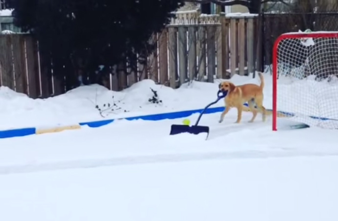 Dog Shovels Snow From Ice Rink