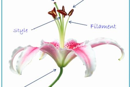 Parts of a flower quiz best flowers 2018 diagram quiz on flower parts interactive biology ccuart Choice Image
