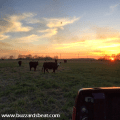 Cows at sunset in Kansas