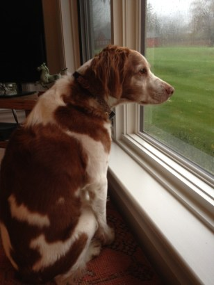 dog stares out window
