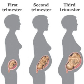 preganancy-stages