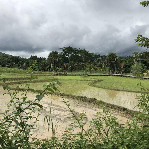 rice paddies | Buzzy Bee Bike, Chiang Mai, Thailand