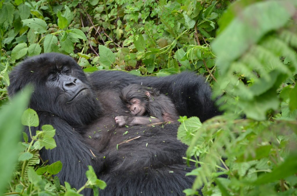 Bwindi impenetrable forest national park- park entry fees - Bwindi Forest National Park