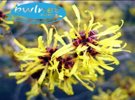 bwlnet-witch-hazel-extract