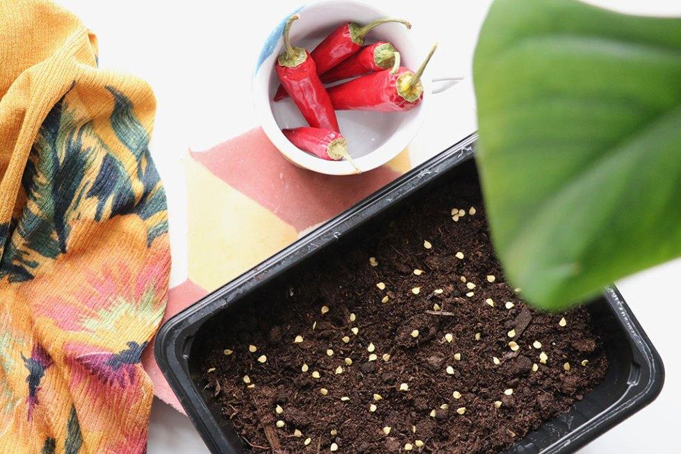 Plant dine egne chili planter