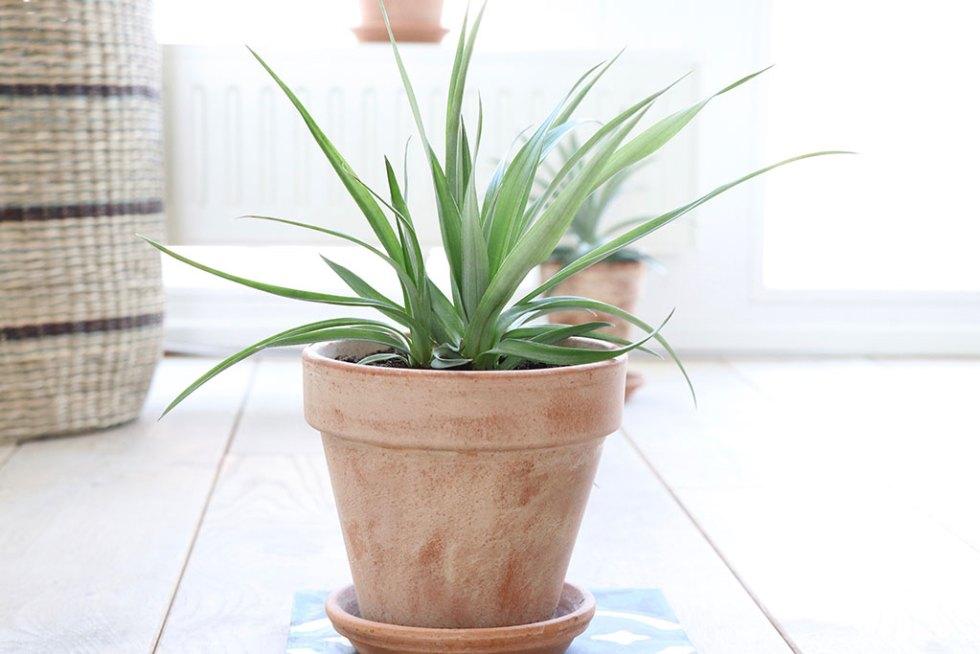 Omplantning af ananasplante