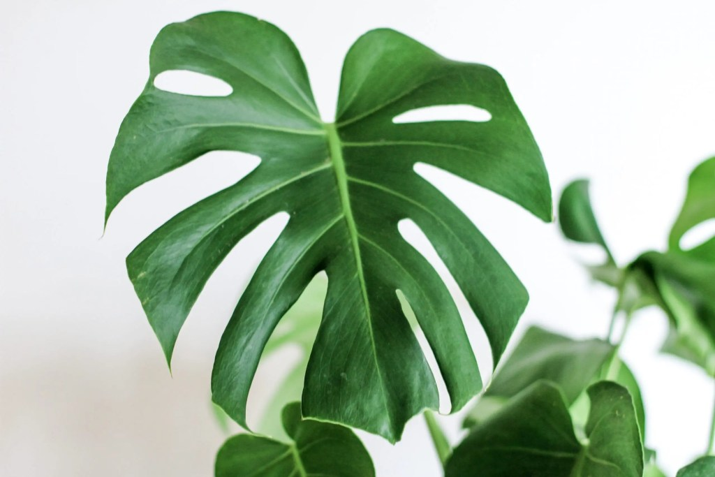 Monstera zuiverende kamerplant