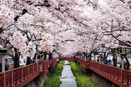 Hoa anh đào nở ở Hàn Quốc