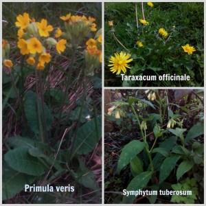 Primula-diente leon-consuelda