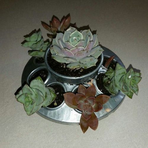 chick feeder succulents