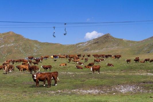 Les-vaches-et-le-telesiege