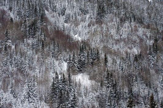 Sapins-de-Pralognan-la-Vanoise