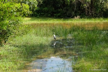 Bird in the lake at Wilpatu National Park