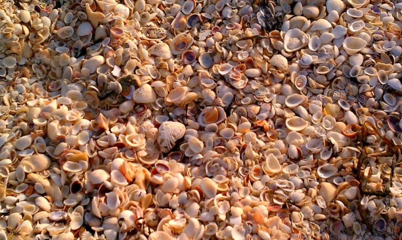 Sanibel Seashells