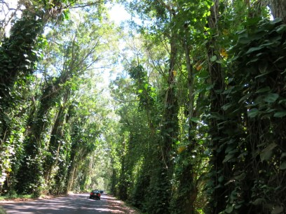 Jungle canopy covering the road