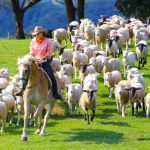 マザー牧場羊放牧