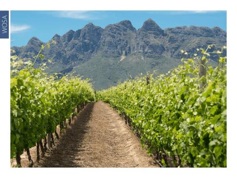sauvignon vineyard